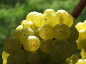 Sun-lit grapes