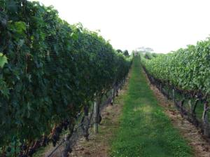endless_vineyards