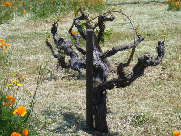 Ridge Vineyards 60 years old vine