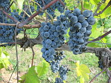 Norton Grapes growing in Missouri. Source: Wikipedia