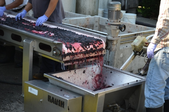 DSC_0010 Sorting of Merlot grapes