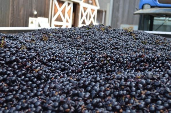 DSC_0962 Merlot Grapes
