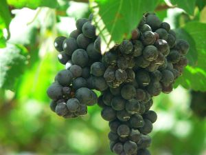Shiraz grapes from Wikipedia