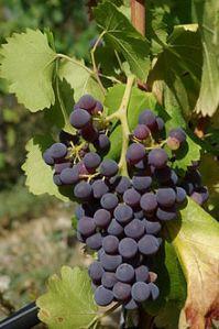 Grenache_Noir Wikipedia