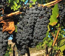Sangiovese grapes close up from Wikipedia