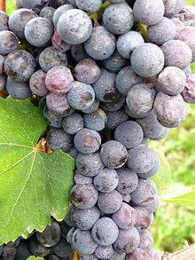 Nebbiolo grapes, picture from Wikipedia