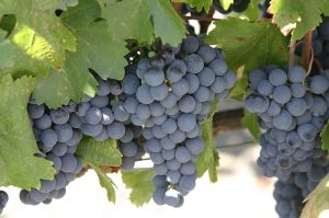 Malbec grapes, picture from Wikipedia