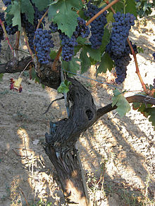 Tempranillo grapes as captured in Wikipedia
