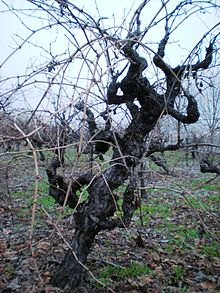 Zinfandel_220px-Gnarly_Vines_in_Sonoma_Valley