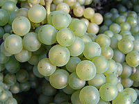 Chardonnay grapes after harvest, as presented in Wikipedia