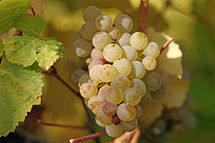 Ripe Riesling Grapes, as captured in Wikipedia