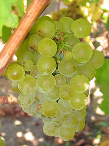 Sauvignon Blanc grapes, as presented in Wikipedia