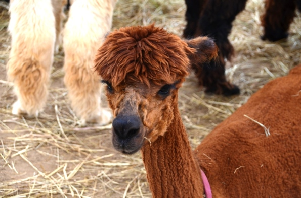 Alpaca from Marta's Vineyard