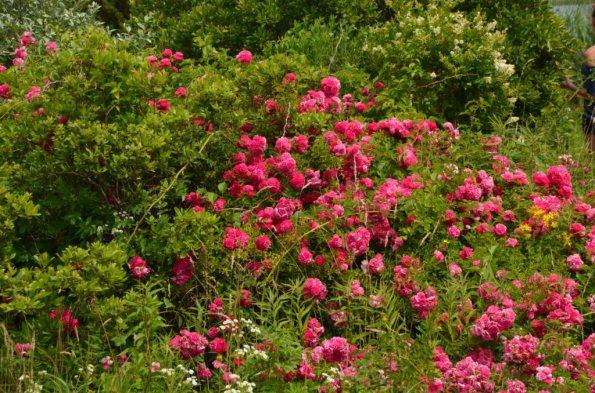 Roses zoom in