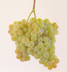 Albariño grapes, as shown in Wikipedia