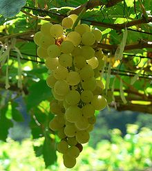 Chenin Blanc grapes, as pictured in Wikipedia