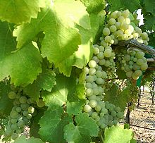 California Viognier grapes, as shown in Wilipedia
