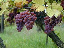 Gewurztraminer grapes, as shown in Wkikipedia