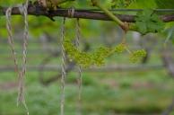 Wine, in progress, zoomed in