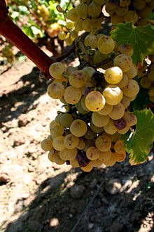 Sémillon grapes affected by noble rot, as shown in Wikipedia