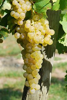 Ugni Blanc grapes, as shown in Wikipedia
