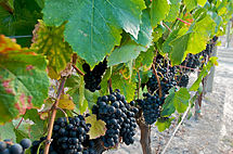 Petit Verdot, as shown in Wikipedia