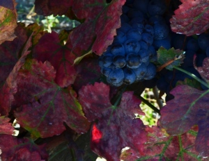 While not Carménère, this gives you an idea of color
