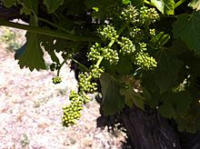 Petite Sirah in Bloom. Source: Wikipedia
