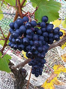 Dolcetto grapes. Source: Wikipedia
