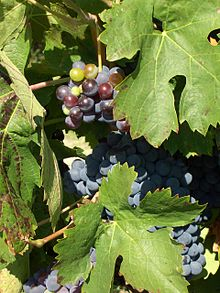 Cinsault Grapes. Source: Wikipedia