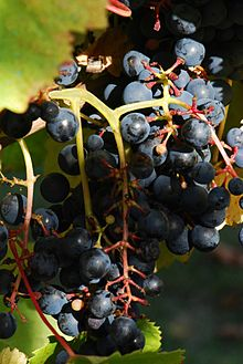 Tannat Grapes. Source: Wikipedia