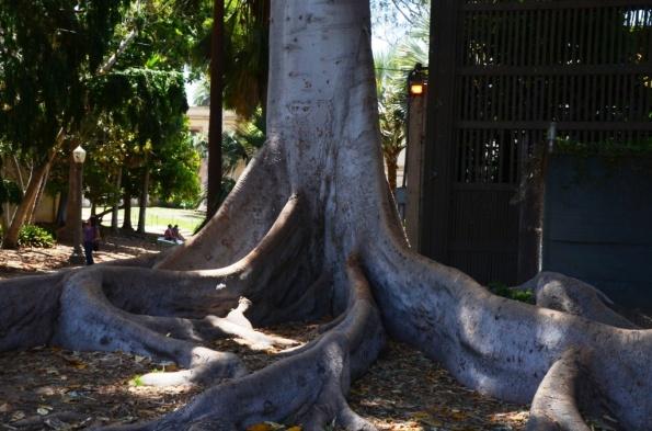 Towering Moreton Bay Fig Tree