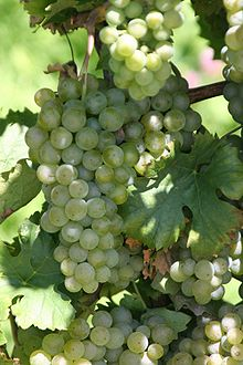 Müller-Thurgau grapes
