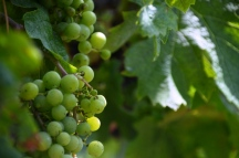 Newport Vineyards Grapes Ripening