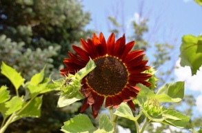 Red Sunflower at Hopkins Vineyard
