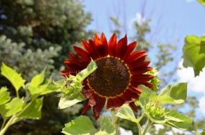 Red Sunflower at Hopkins Vineyard