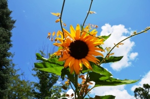 Sunflower at Hopkins Vineyard