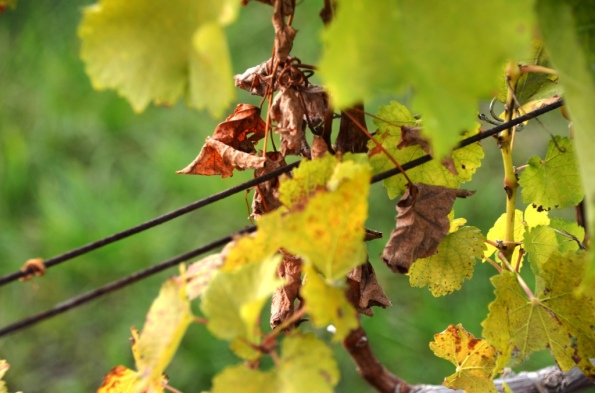 Fall in the Vineyard 1