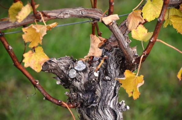 Fall Vines
