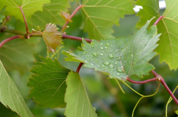 Grape Leaf with water drops