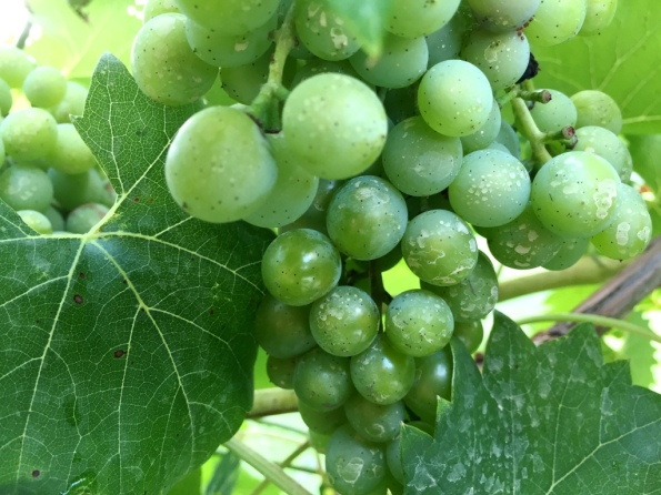 Grapes in progress