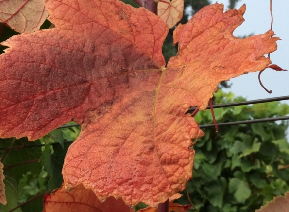 Ghost Hill Cellars Grape Leaf