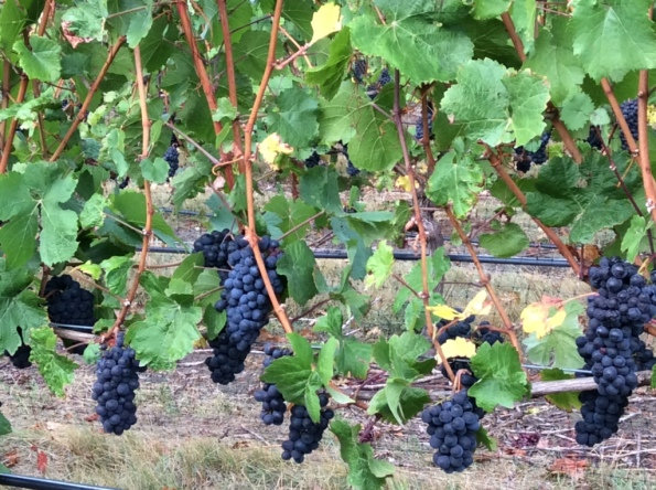 Ghost Hill Cellars Pinot Noir Grapes