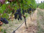 Pinot Noir Vidon Vineyards