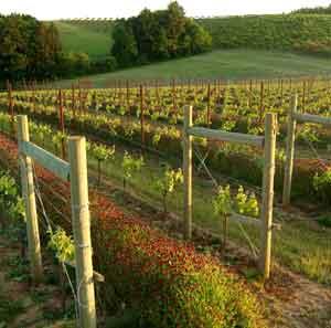 savoya-vineyard