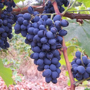 saperavi-grapes-marani