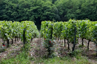 Dense planting of Franciacorta vineyards at Ca'del Bosco