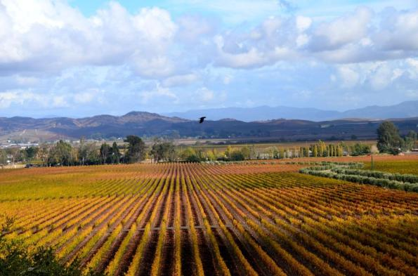 Fall in the Vineyards
