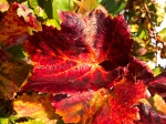 Colors of Fall - grape leaves