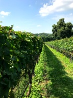 Galer Estate vineyard
